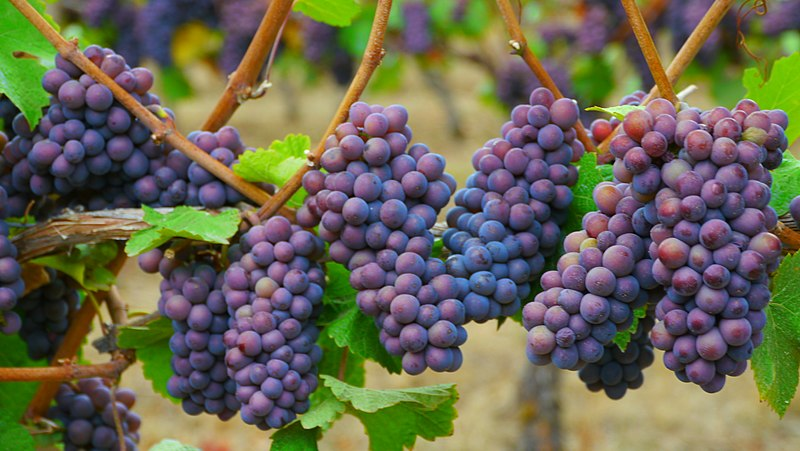 Pinot Grape Clusters